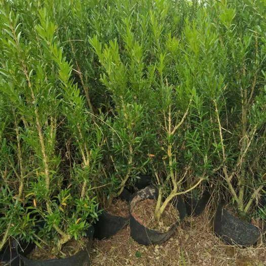 漳州龍海市 黃楊雀舌黃楊高30到40厘米福建漳州苗木基地