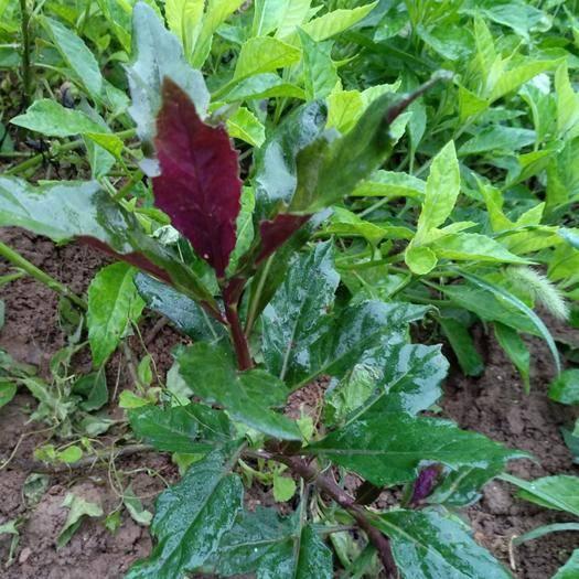 漢中兒茶 農村的花草