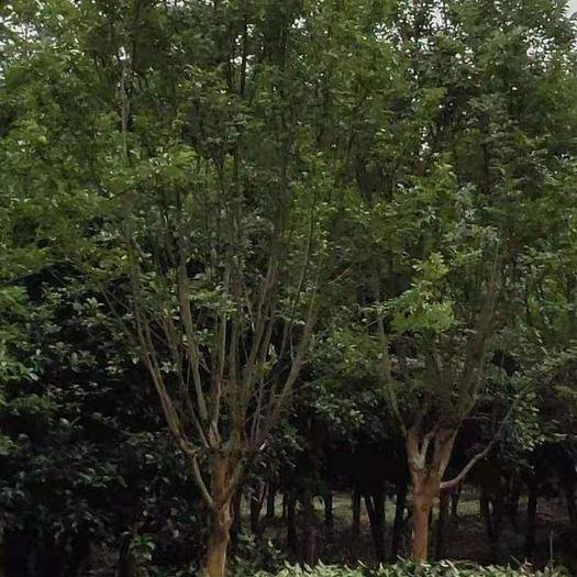 嘉興海寧市速生紫薇 10至18公分有量供應,分枝70/1.5米,有要可聯糸