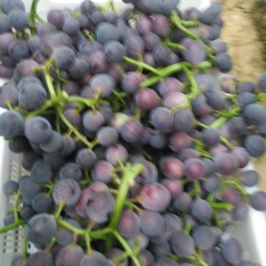 饶阳县红地球葡萄 大量出售1-2-3级红地球有意者联系