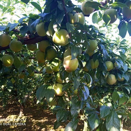 西安周至县 种植户直供红布林,黑布林