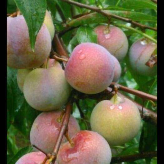 屏山县 四川土李子 新鲜脆红李脱骨李子半边红李子新鲜水果