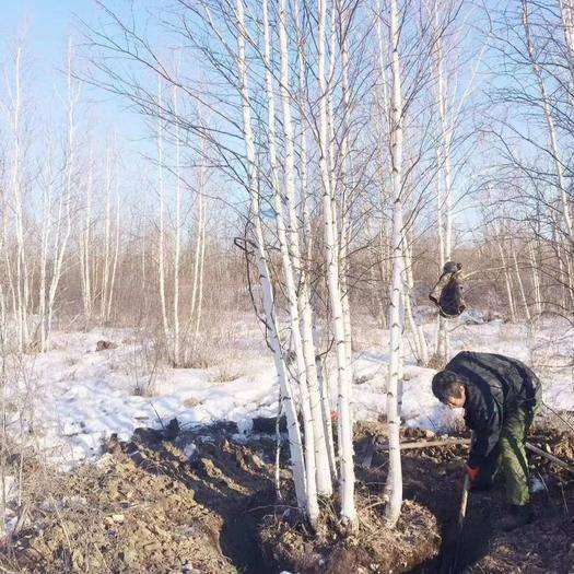 铁岭开原市白桦树苗 开原市美城苗圃白桦树价格 丛生白桦树价格