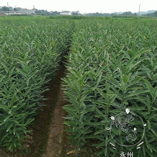 永州东安县 湖南龙牙百合种子,有一代种子和二代种子出售