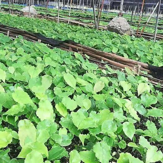 重庆万州淫羊藿种苗 高含量淫洋藿种苗长期供应。