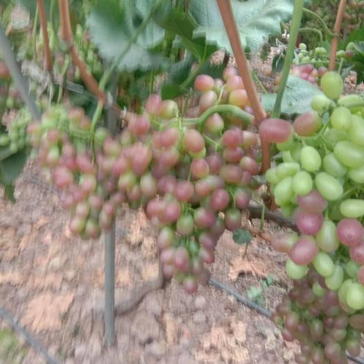 西昌市 四川凉山万亩葡萄基地直供各种品种葡萄,伐发伐办价格随行