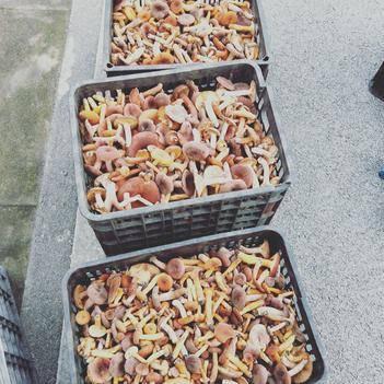 奶浆菌 今天新鲜出炉的野生乃浆菌,百分之九十小货,大小货以区分