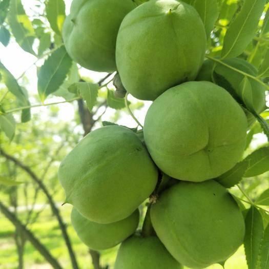 朝阳北票市 专业经营各种规格文冠果树苗