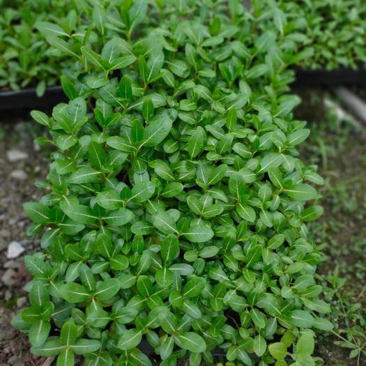 广州荔湾区长春花种子 长春花种苗园林绿化地被苗