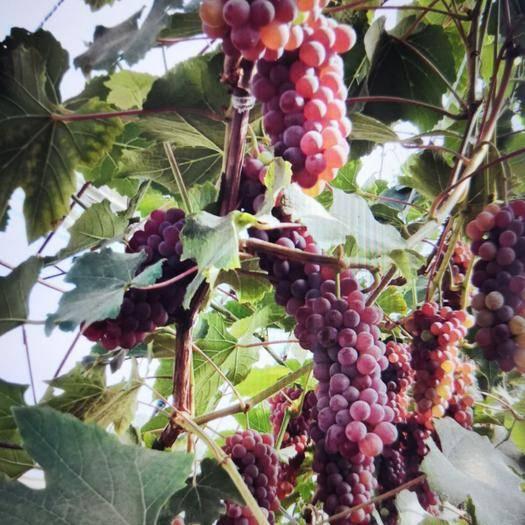 沈阳于洪区 卖金红娃葡萄,50000金斤,需要联系,价格优