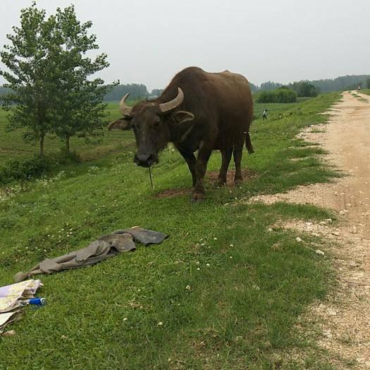 漢川市 家里養的水牛