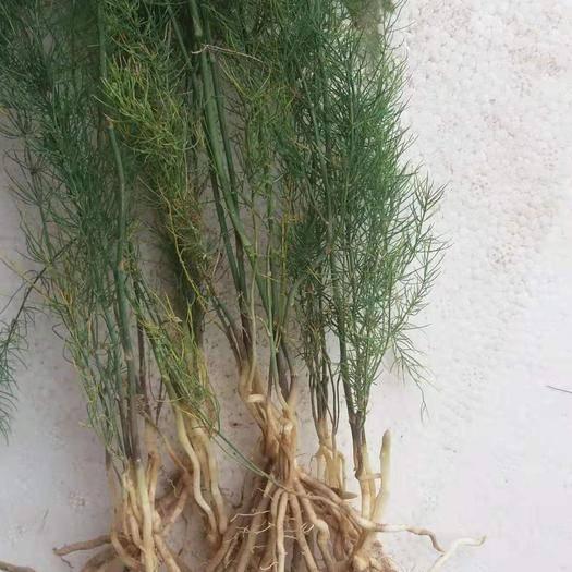 菏澤曹縣 當年 適齡小根蘆筍苗3到5個根