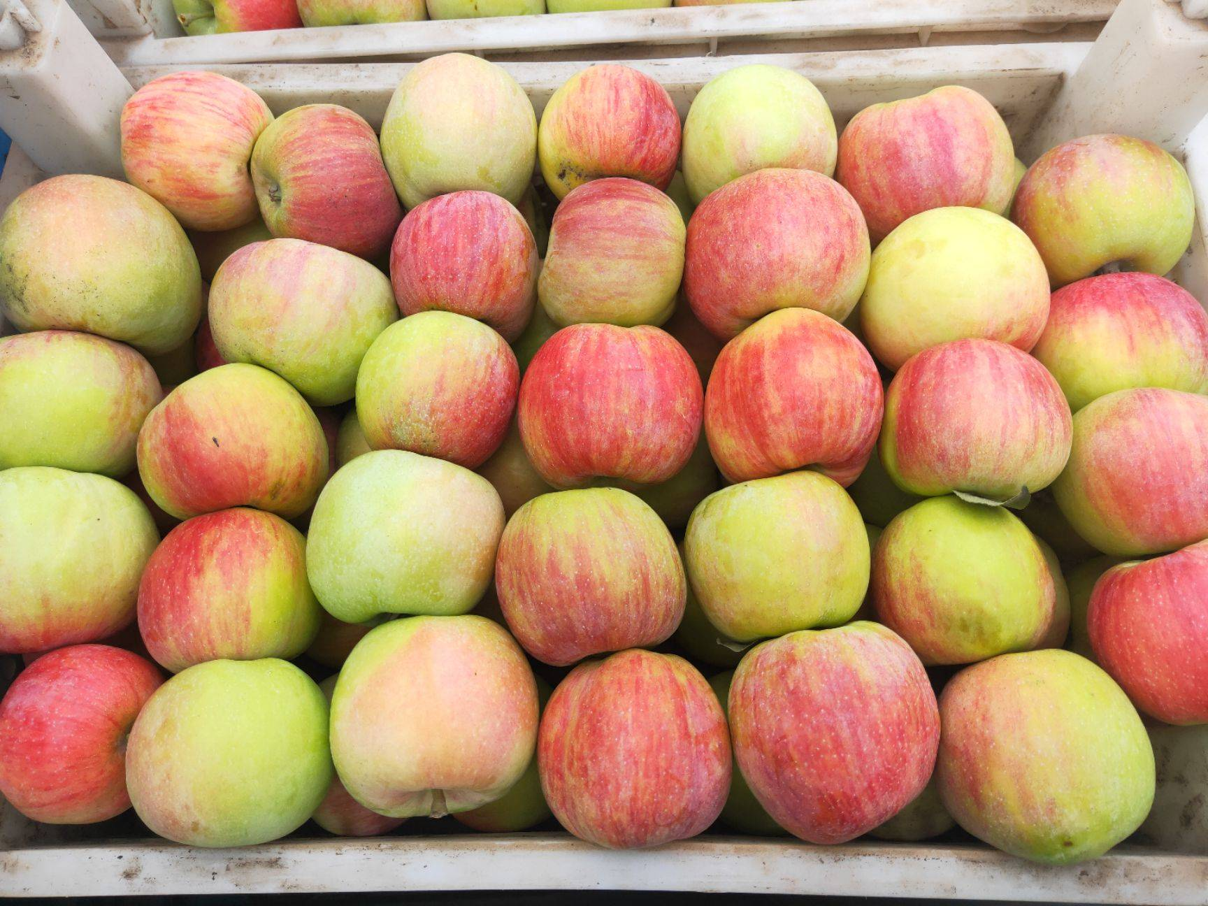 藤木苹果 70mm以上 表光 光果