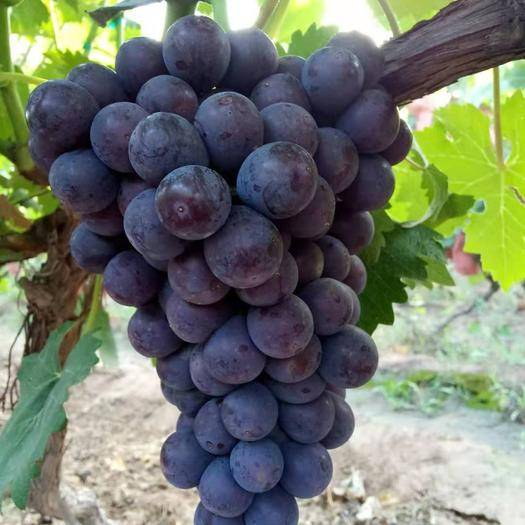 晋州市 早夏 夏黑葡萄已上市