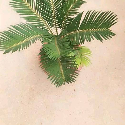 臨沂沂水縣福建蘇鐵 大苗鐵樹羊角鐵樹