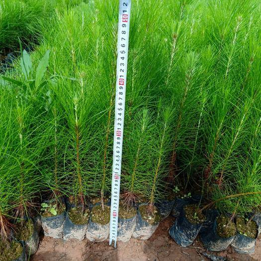 浦北县湿地松树苗 湿加松菌根苗——替代桉树的树种