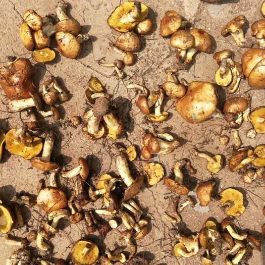内蒙古自治区赤峰市敖汉旗松乳菇 松菇