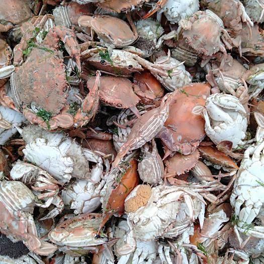 滨州七里海大闸蟹 刚在船上打捞上岸的火、螃蟹,新鲜,有要吃滴速联