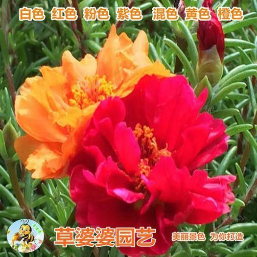 宿迁沭阳县 太阳花种子马菜花种子大花马齿笕种子松叶牡丹种子新种子包邮