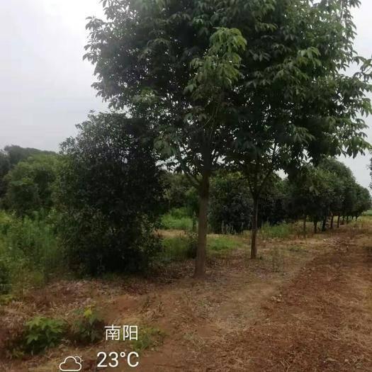 南陽西峽縣七葉樹