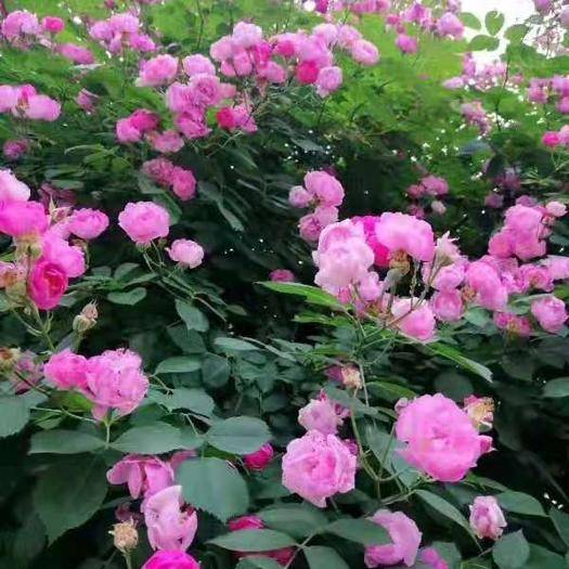 昆明 蔷薇苗 欧月 藤本系列