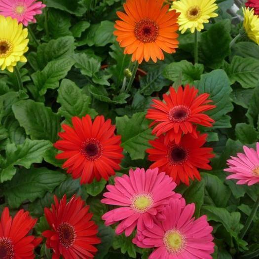 昆明呈贡区非洲菊苗 代表着高洁,清新,雅逸的非洲菊小苗批发零售