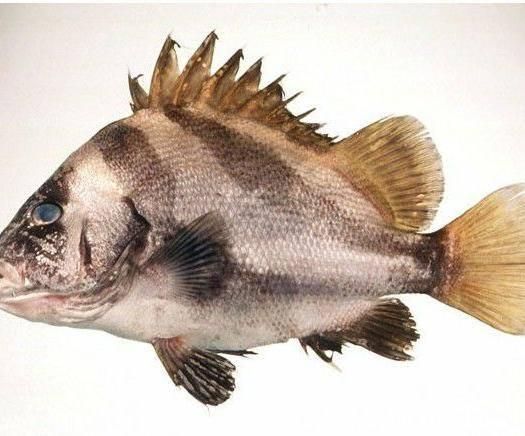 宁德蕉城区包公鱼 鲍公鱼量大出售