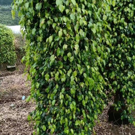 漳州漳浦县 垂叶榕货品多多,规格广泛,要的可以咨询我