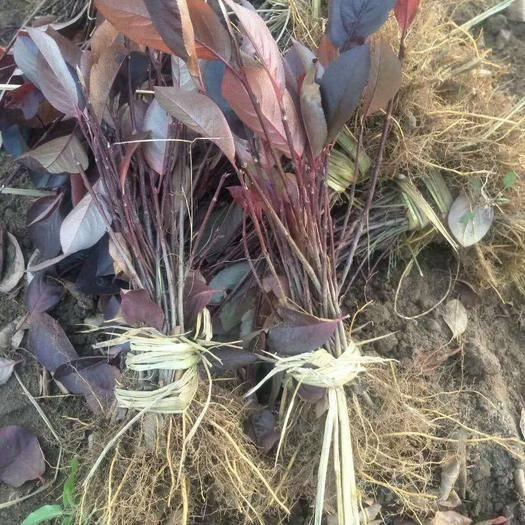铁岭开原市黑果花楸苗 黑果花楸价格 黑果花楸1-3年苗批发 开原市美城苗圃
