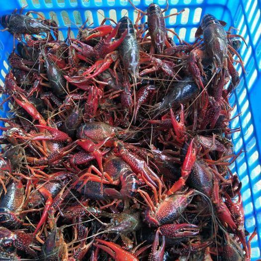 洪湖市 洪湖小龙虾   红壳虾  大红789、10  品质好