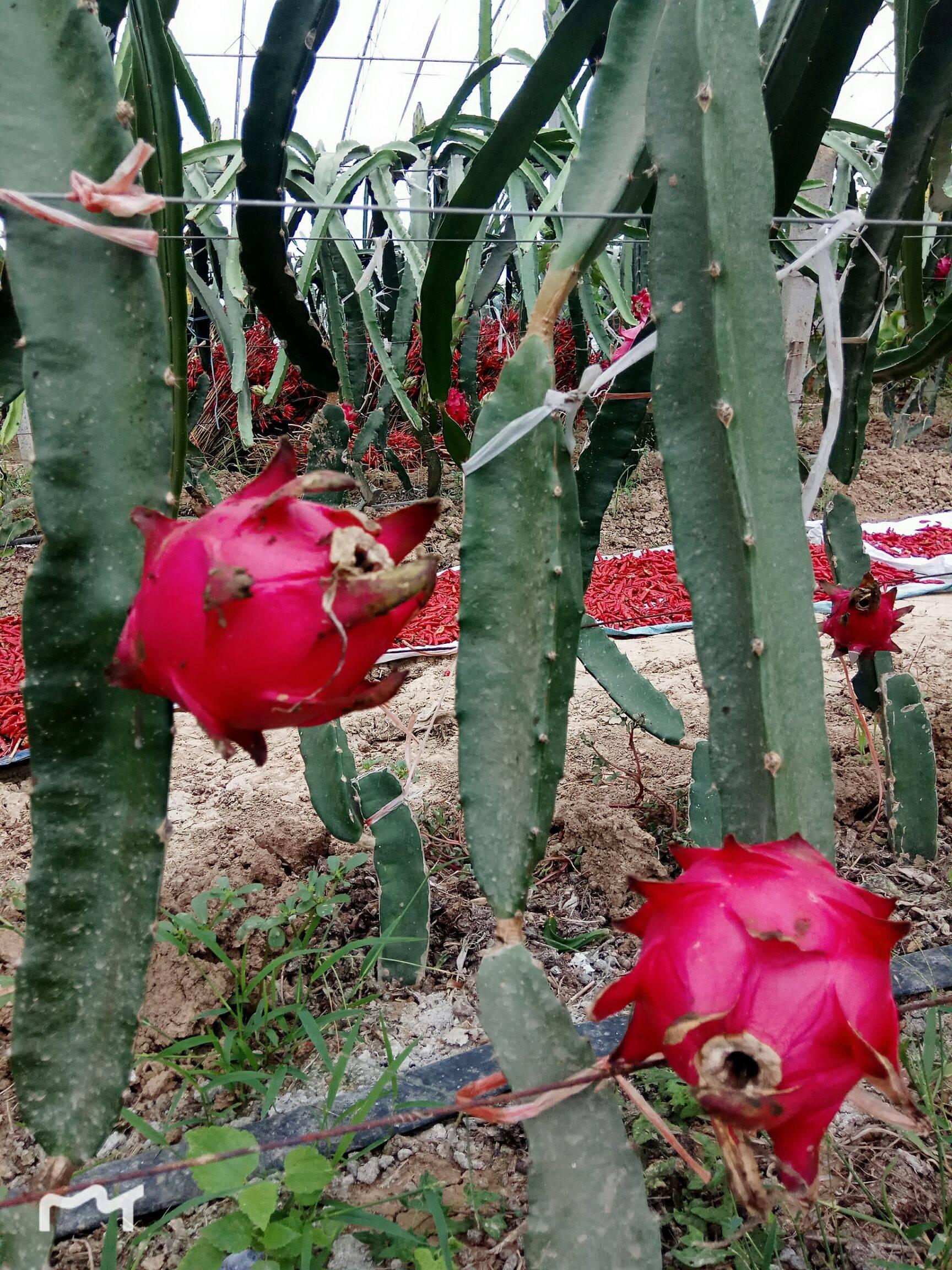 景玉红心火龙果现已成熟,口感细嫩,自然成熟,甜度高。