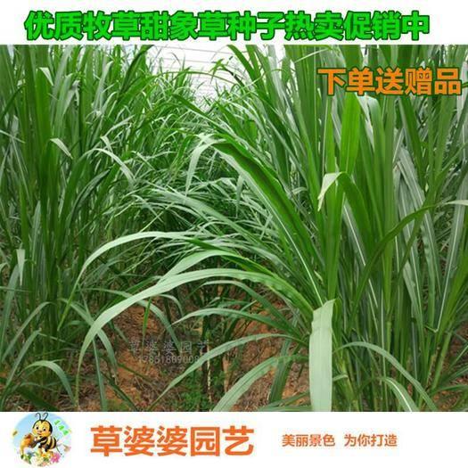 宿迁沭阳县 甜象草种子牧草种子新种子包邮