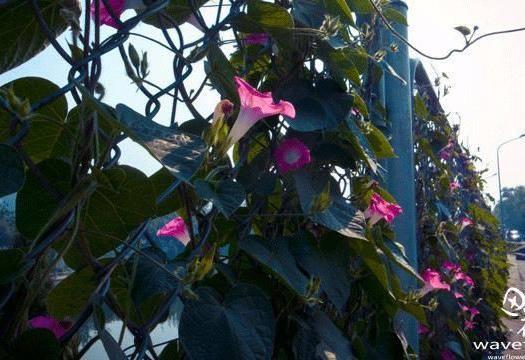 镇江丹阳市 大花朵牵牛花种子爬藤花卉阳台庭院花种子攀爬500粒种子