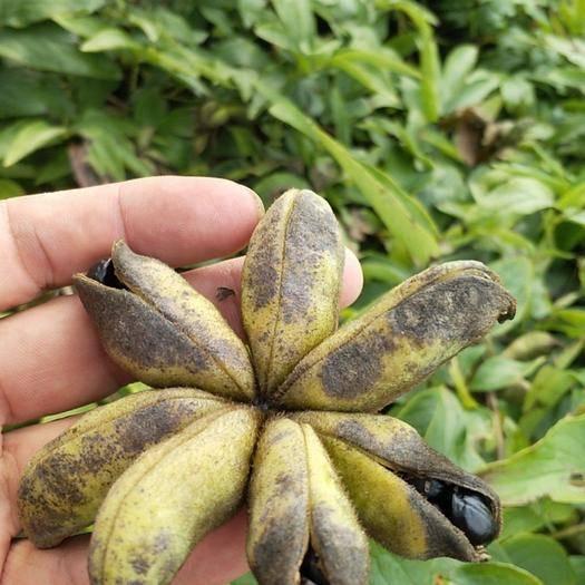 亳州谯城区白芍种子 中药材,种植,收购,白芷,白芍,有想了解中药材种植,☎️