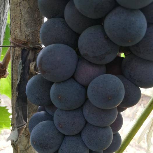 北镇市140葡萄 1.5- 2斤 5%以下 1次果
