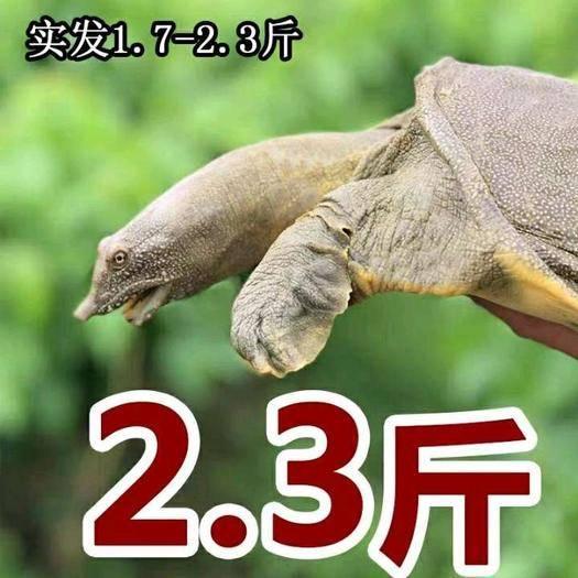 杭州余杭区 外塘甲鱼2.3斤外塘放养38元一只