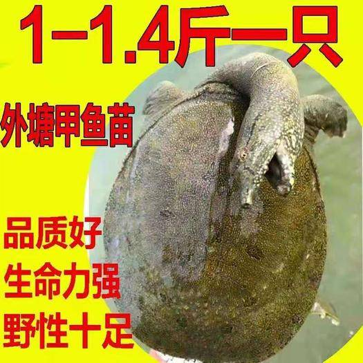 嘉兴海盐县 外塘1-1.5斤花点甲鱼20元一只
