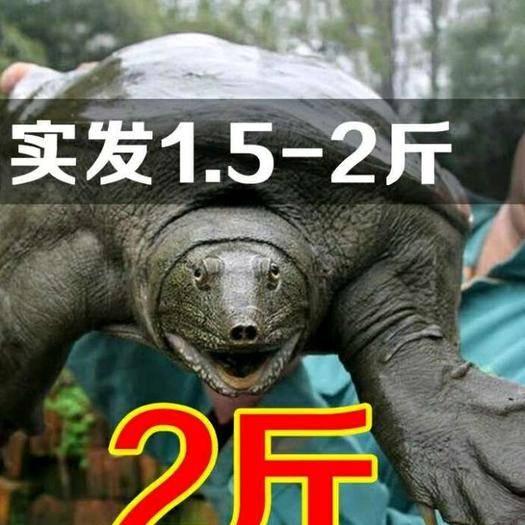 杭州余杭区 外塘甲鱼2斤30元一只