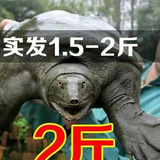 杭州余杭区 外塘甲鱼1.5-2斤31元一只