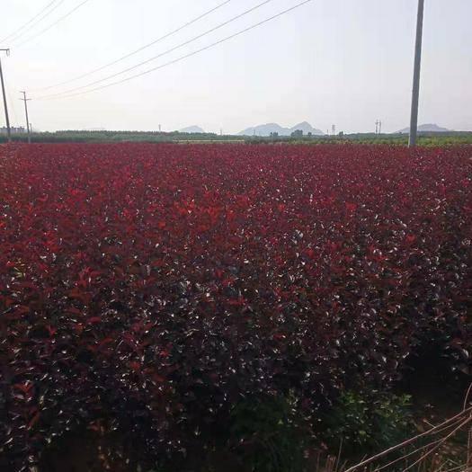 唐山遵化市紫叶稠李苗 大量出售,紫叶矮樱