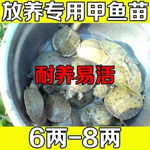嘉兴海盐县生态甲鱼苗 养殖专用6-8两12元一只包活