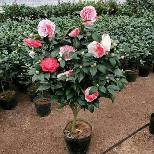 丹陽市 帶花苞發貨茶花盆栽五色赤丹一樹多色樹苗當年開花四季開花花卉