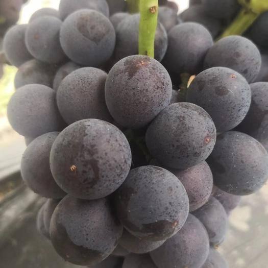 单县 夏黑葡萄