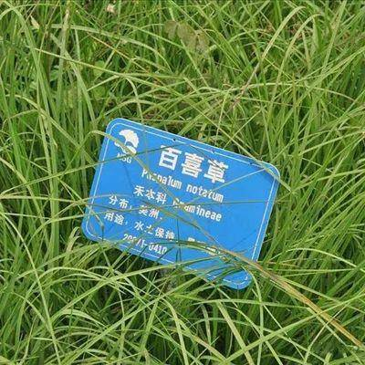 上海杨浦 百喜草种子 道路护坡 水土保持 牧草草籽 公路 堤坝绿化草