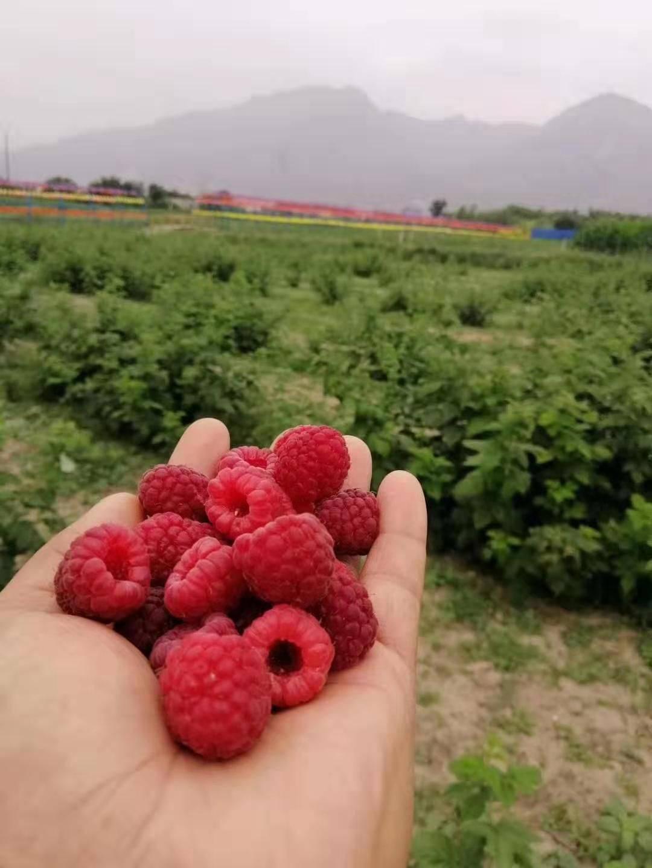 树莓营养丰富,,明目.减肥.美容养颜含有大量维生素