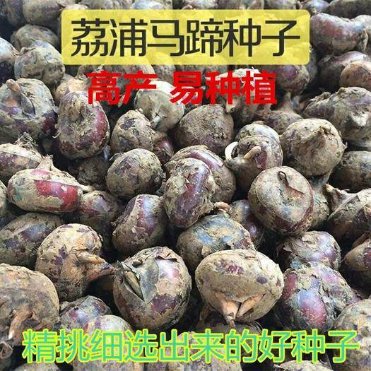 邵阳邵东县马蹄金种子 高产马蹄精选荔浦荸荠种子新鲜马蹄种籽大面积种植可1斤约30个