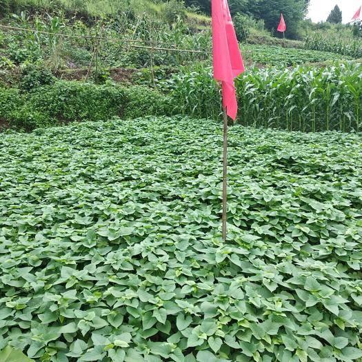 內江 本苕尖基地一年四季(冬季產量稍減)供應優質有機種植苕尖