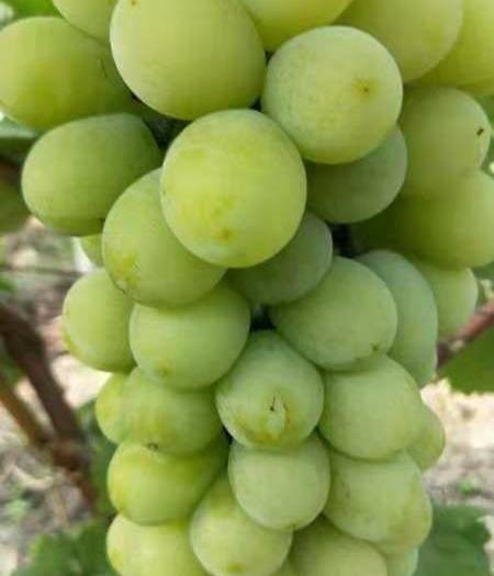 太和县 醉金香奶油葡萄