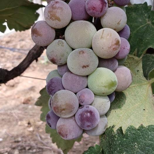 襄樊 蜜莉葡萄,雨水红葡萄,夏红蜜葡萄