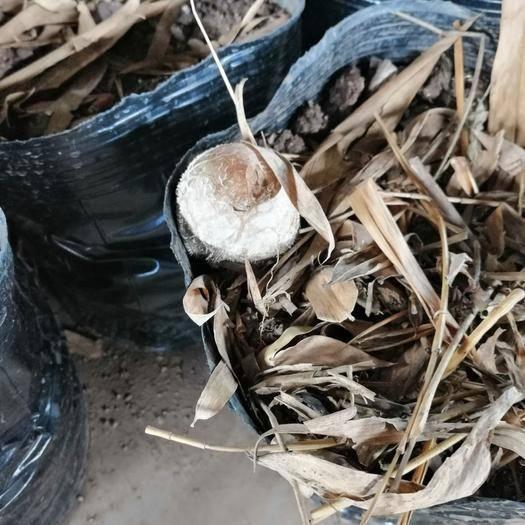 宜宾江安县竹荪菌种 盆栽竹荪